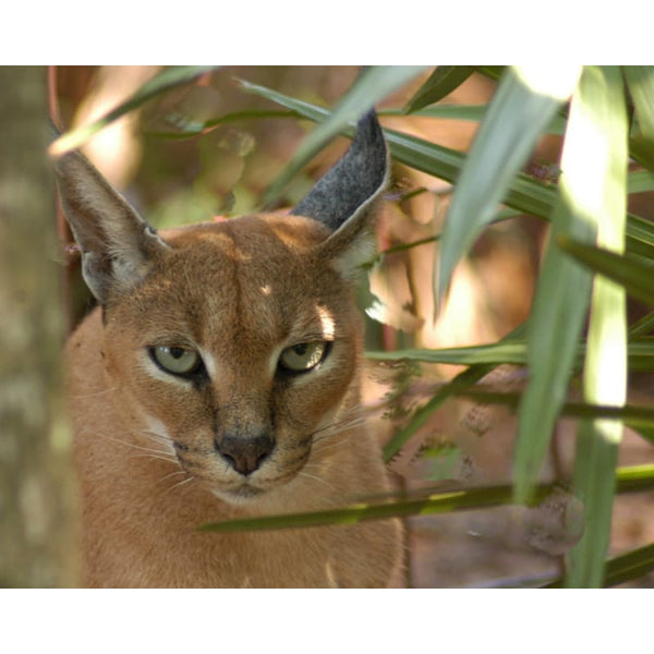 Photo Download Caracal 05 - a websize - Photo