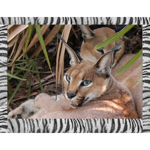 Photo Download Caracal 06 - a websize - Photo