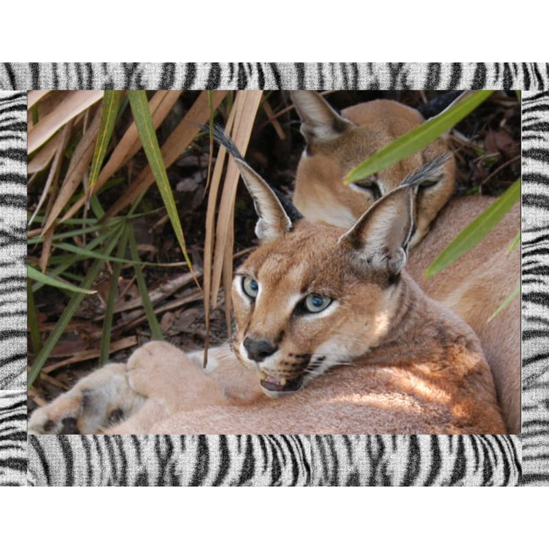 products/photo-download-caracal-06-a-websize-wild-cat-catrescue-vertebrate-mammal-wildlife_798.jpg
