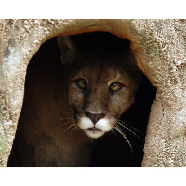 Photo Download Cougar 01 - a websize - Photo