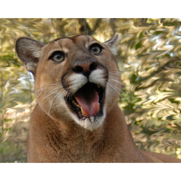 Photo Download Cougar 02 - a websize - Photo