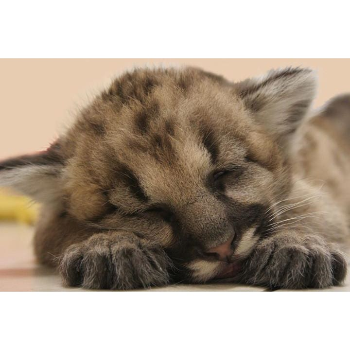 products/photo-download-cougar-07-a-websize-cub-kitten-catrescue-mammal-cat-vertebrate_300.jpg