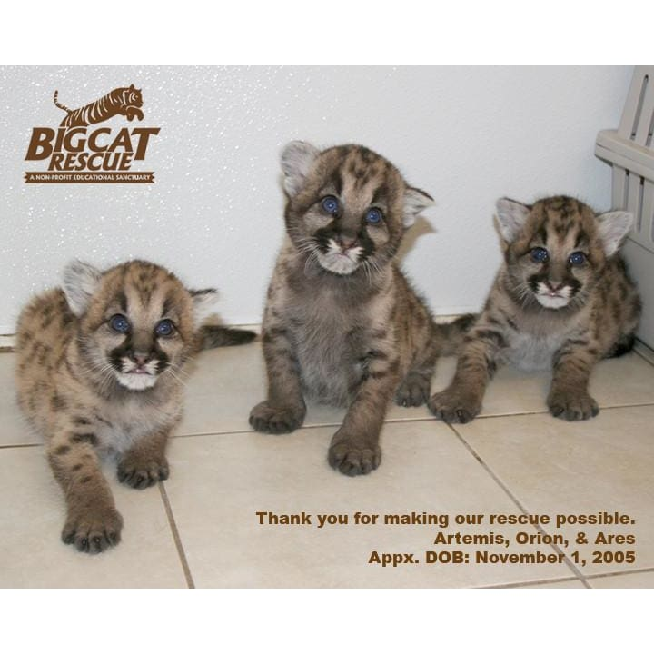 products/photo-download-cougar-08-a-websize-cub-kitten-catrescue-mammal-felidae-wildlife_960.jpg