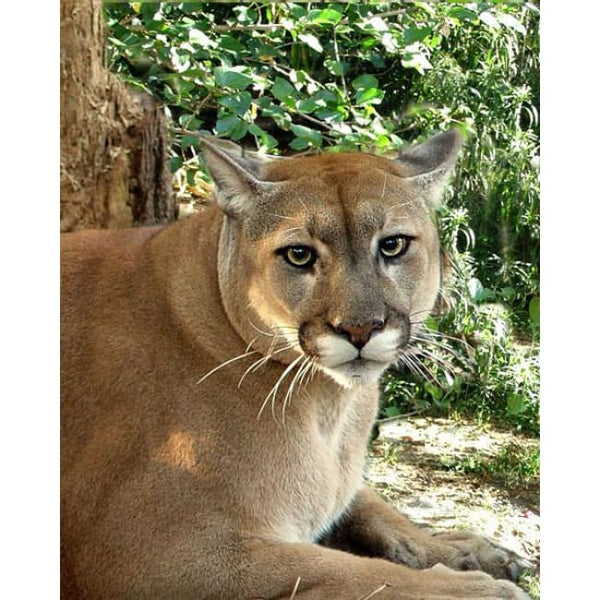 Photo Download Cougar 09 - a websize - Photo
