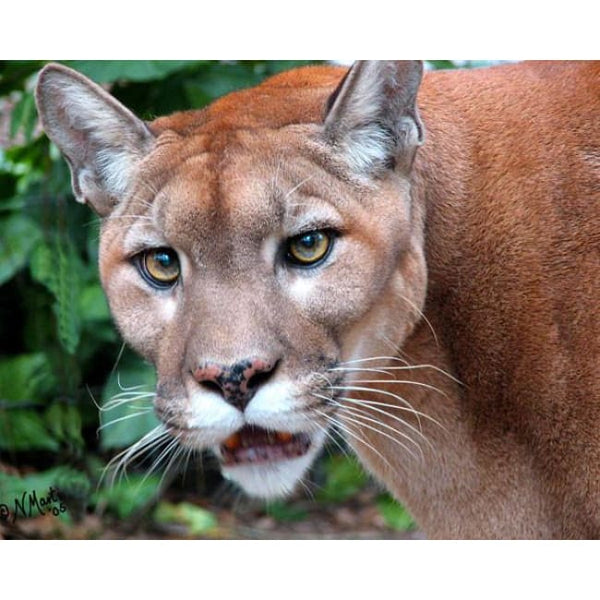 Photo Download Cougar 10 - a websize - Photo