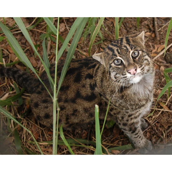 Photo Download Fishing Cat 01 - a websize - Photo