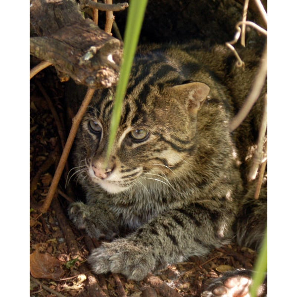 Photo Download Fishing Cat 02 - a websize - Photo