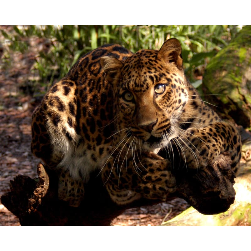products/photo-download-golden-leopard-01-a-websize-catrescue-terrestrial-animal-mammal-vertebrate_786.jpg