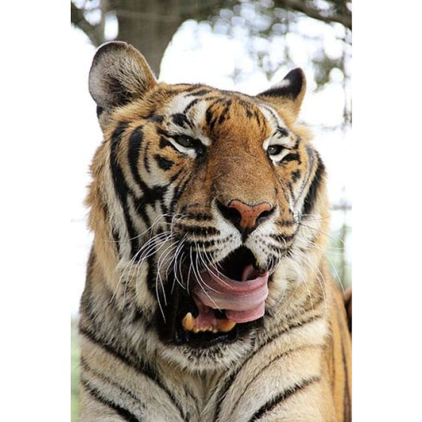 Photo Download Hoover Tiger 01 - A Websize - Photo