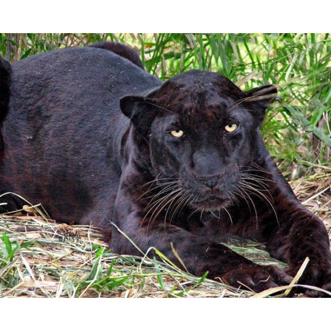 products/photo-download-leopard-06-a-websize-black-catrescue-mammal-vertebrate-terrestrial-animal_922.jpg