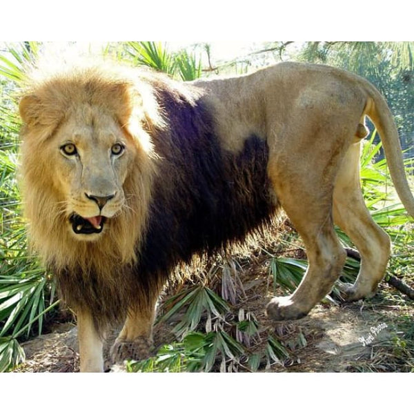 Photo Download Lion 05 - a websize - Photo