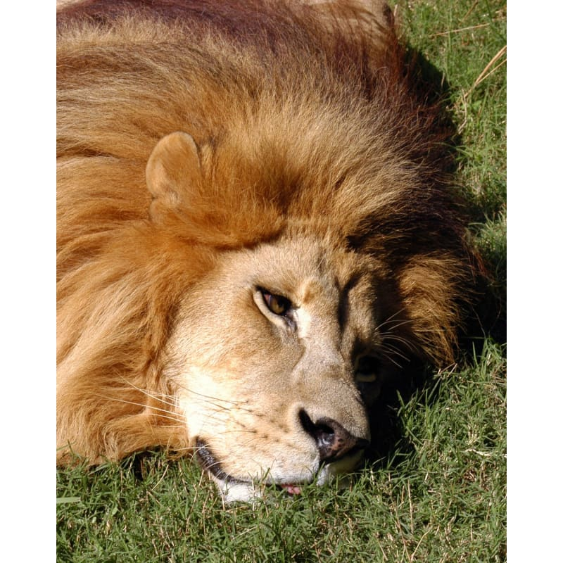 products/photo-download-lion-06-a-websize-catrescue-hair-mammal_602.jpg