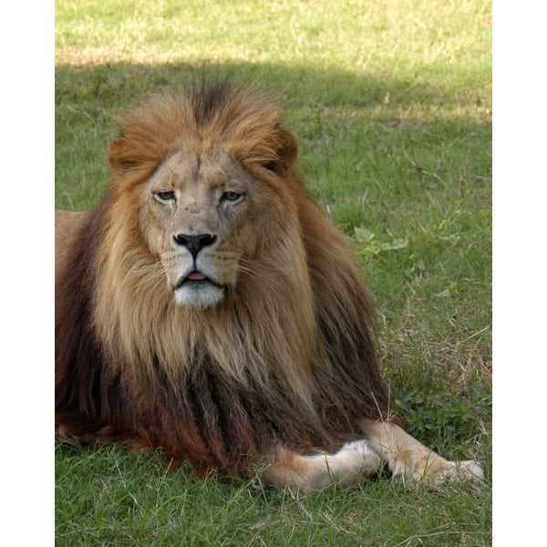 Photo Download Lion 07 - a websize - Photo