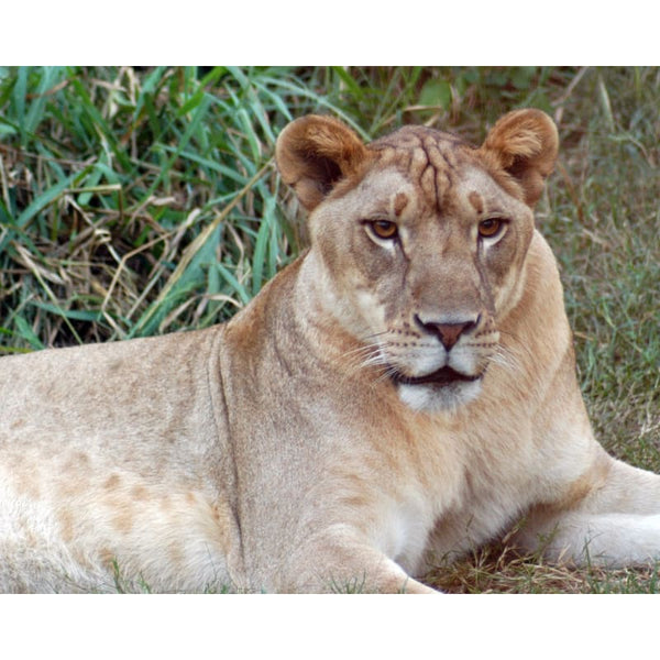 Photo Download Lioness 01 - a websize - Photo