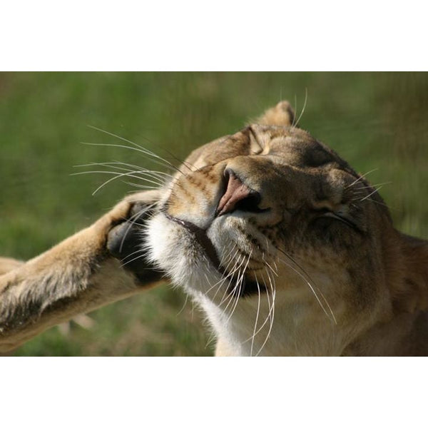 Photo Download Lioness 03 - a websize - Photo