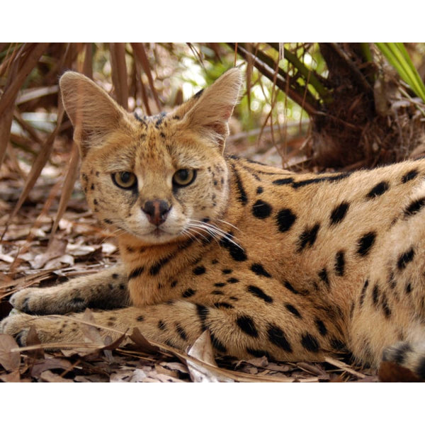 Photo Download Serval 01 - a websize - Photo