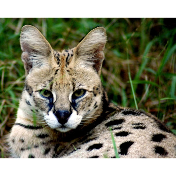 Photo Download Serval 02 - a websize - Photo