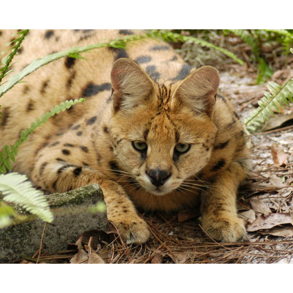 Photo Download Serval 03 - a websize - Photo