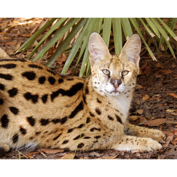 Photo Download Serval 04 - a websize - Photo