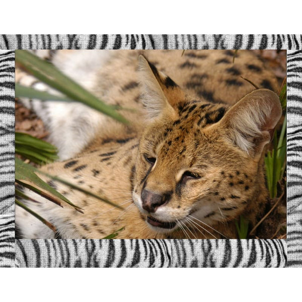 Photo Download Serval 05 - a websize - Photo