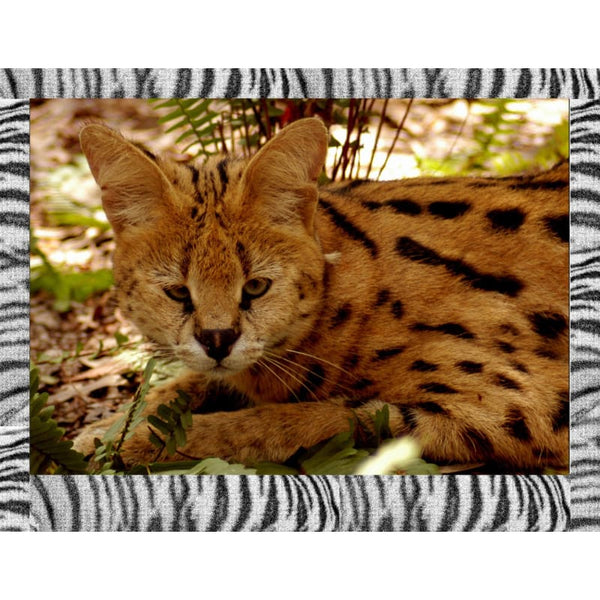 Photo Download Serval 06 - a websize - Photo