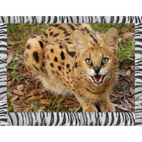 Photo Download Serval 07 - a websize - Photo