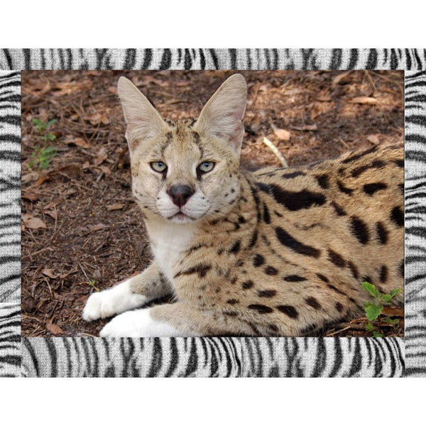 Photo Download Serval 08 - a websize - Photo