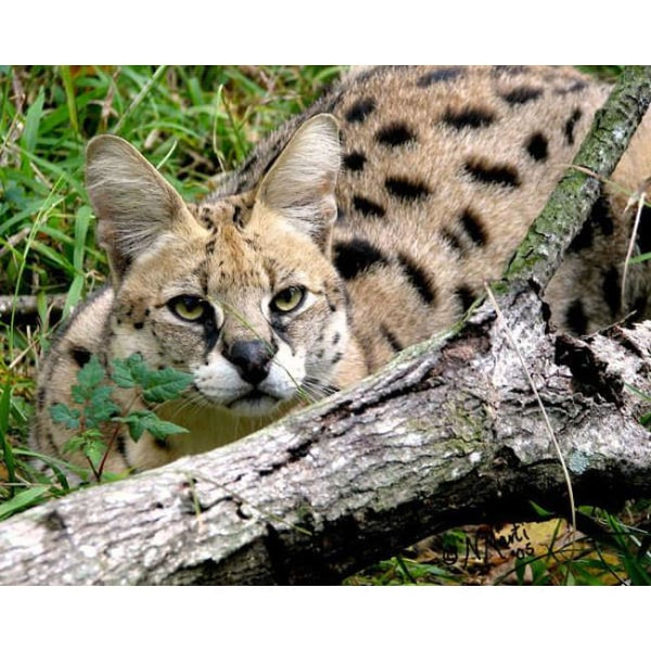 Photo Download Serval 12 - a websize - Photo