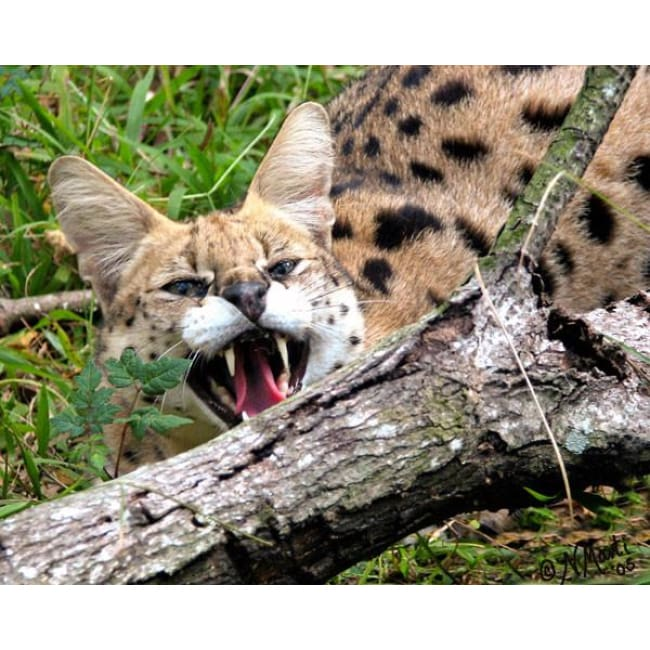 Photo Download Serval 13