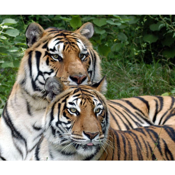 Photo Download Tiger 01 - a websize - Photo