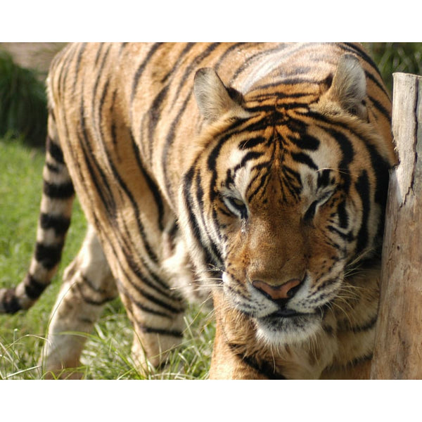 Photo Download Tiger 02 - a websize - Photo