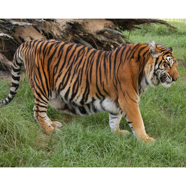 Photo Download Tiger 04 - a websize - Photo