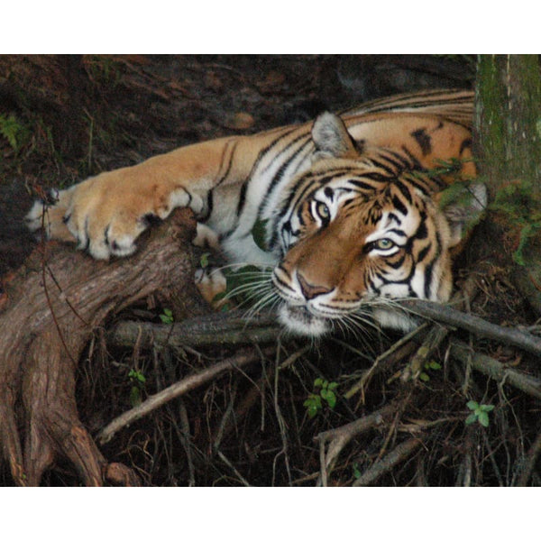 Photo Download Tiger 06 - a websize - Photo