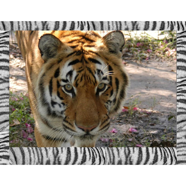 Photo Download Tiger 08 - a websize - Photo
