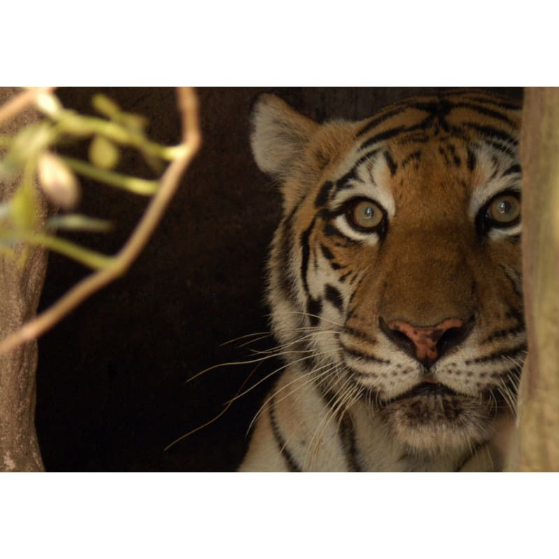products/photo-download-tiger-09-b-4x5-inch-300-dpi-catrescue-vertebrate-bengal_314.jpg