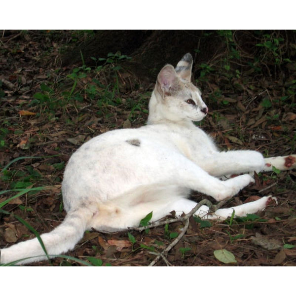 Photo Download White Serval 02 - a websize - Photo