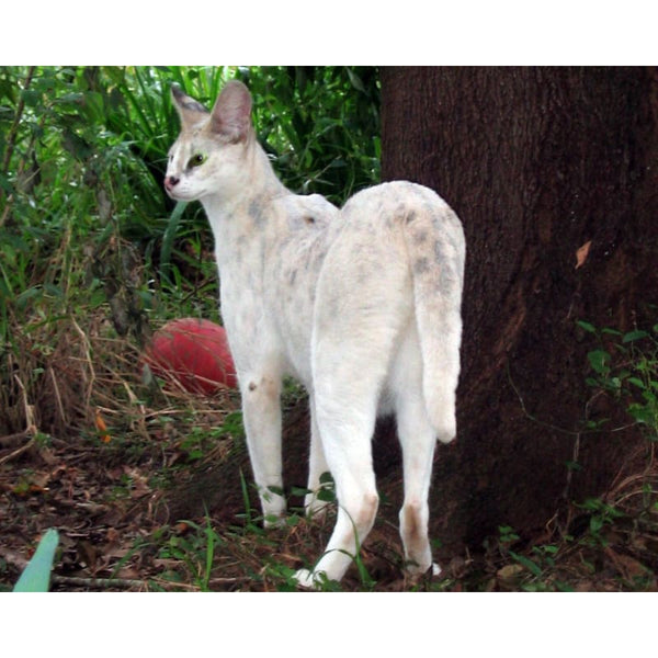 Photo Download White Serval 03 - a websize - Photo
