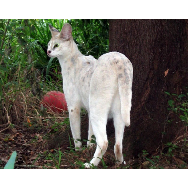 products/photo-download-white-serval-03-a-websize-catrescue-vertebrate-mammal-canidae_716.jpg