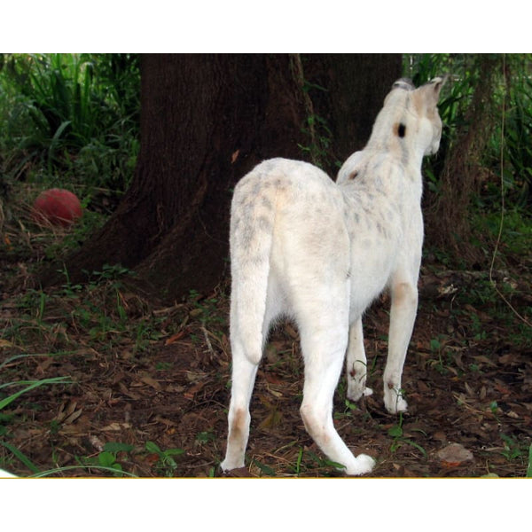 Photo Download White Serval 04 - a websize - Photo