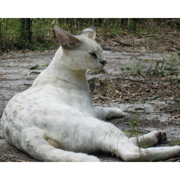 Photo Download White Serval 05 - a websize - Photo