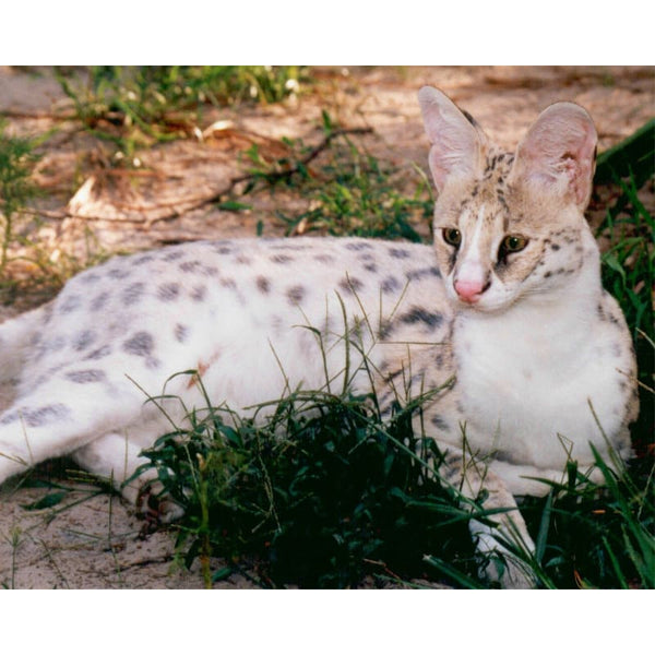 Photo Download White Serval 07 - a websize - Photo