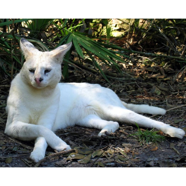 Photo Download White Serval 08 - a websize - Photo