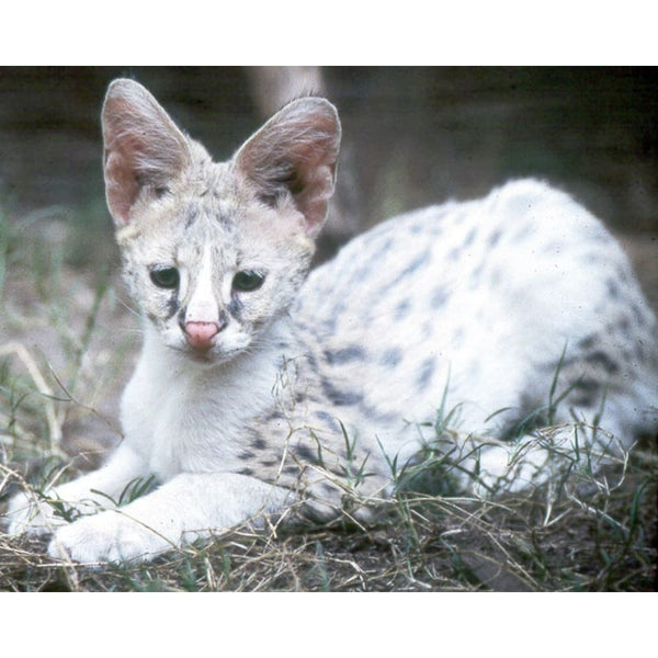 Photo Download White Serval 09 - a websize - Photo