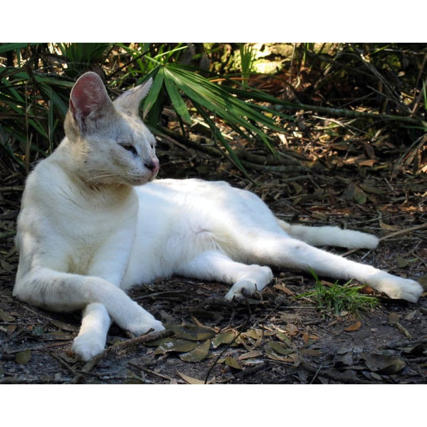 Photo Download White Serval 10 - a websize - Photo