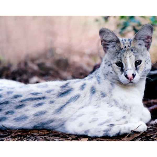 Photo Download White Serval 11 - a websize - Photo