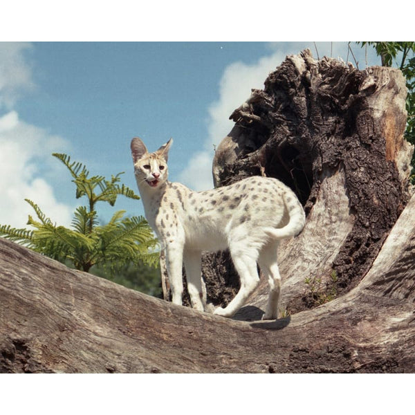 Photo Download White Serval 12 - a websize - Photo