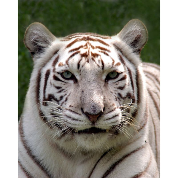 Photo Download White Tiger 04 - a websize - Photo