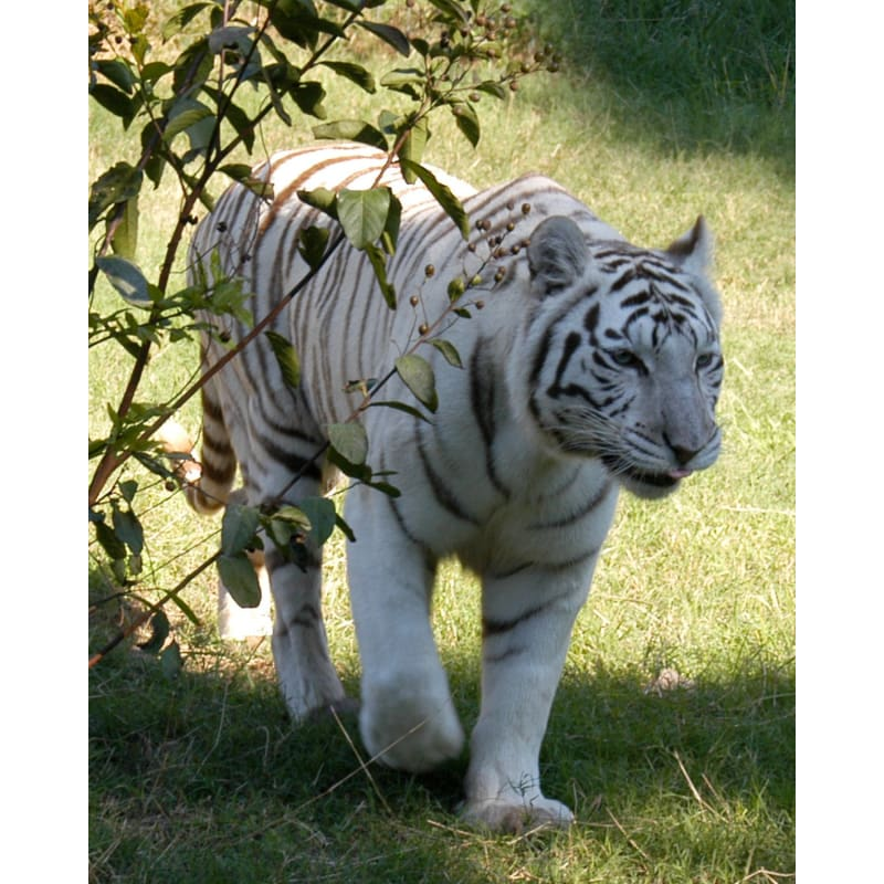products/photo-download-white-tiger-05-a-websize-catrescue-mammal-vertebrate_493.jpg