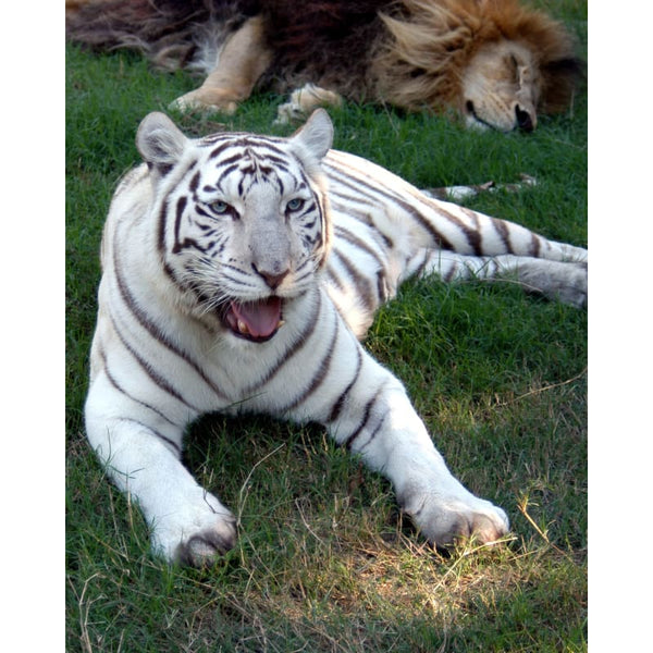 Photo Download White Tiger 06 - a websize - Photo