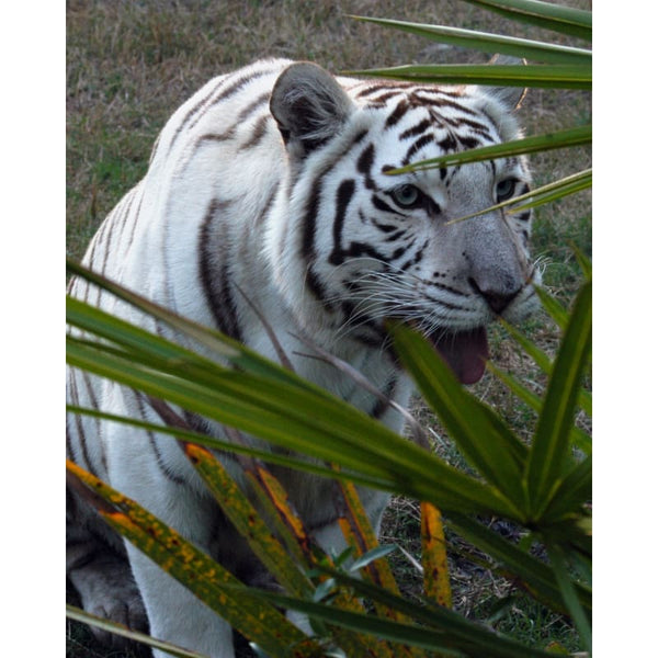 Photo Download White Tiger 07 - a websize - Photo